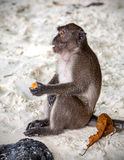 Monkey sitting with fruit on a beach.  Stock Images