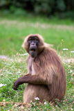 Monkey sitting in grass Royalty Free Stock Photography