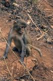 Monkey sitting on the ground in the dark tropic forest. stock images