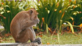 Monkey sitting on the ground eating food at the Khao Kheow Open Zoo. Thailand