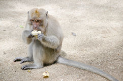 Monkey sitting on the ground to eat banana Royalty Free Stock Image