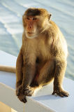 Monkey sitting Royalty Free Stock Photography