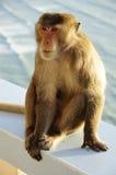 Monkey sitting Royalty Free Stock Photography
