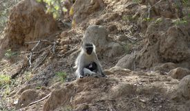Monkey sitting with her baby and observing around. In the savanna– South Africa Stock Photos