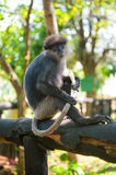 Monkey sitting and holding tail Royalty Free Stock Photos