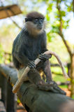Monkey sitting and holding tail Royalty Free Stock Images