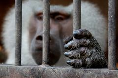 A monkey sitting inside a cage and holding the grid. royalty free stock images