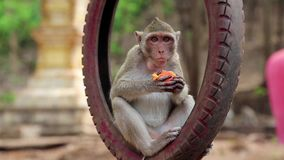 Monkey sitting inside wheel and eats fruit stock footage