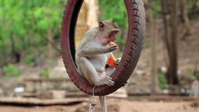 Monkey sitting inside the wheel and eats fruit stock video footage