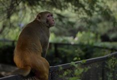 A monkey sitting on a iron fence stock photography