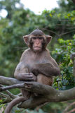 Monkey sitting like a wise old person Royalty Free Stock Photos