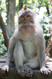 Monkey sitting. Long-tailed macaques sitting in forrest Stock Image
