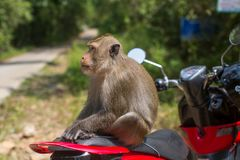 Monkey sitting on a motorbike. Travel and tourism in Thailand Royalty Free Stock Image