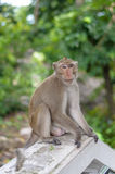 Monkey sitting. Naughty monkey is sitting at the ladder point in Temple Royalty Free Stock Photography