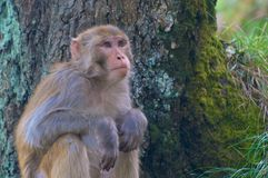 Monkey sitting near a tree in India Royalty Free Stock Images