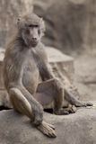 Monkey Sitting On A Rock Stock Image