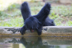 Monkey sitting in outdoors park with water reflection, Brazil Stock Photography