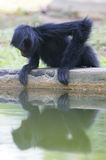 Monkey sitting in outdoors park with water reflection, Brazil Stock Image