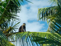 Monkey sitting on a palm Stock Images