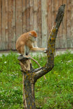 Monkey sitting and peels tree Stock Photos