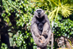 Gibbon sitting on a pole Stock Photography