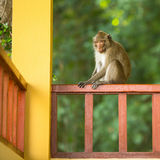 Monkey sitting on the railing of the porch of the house. Nature. Stock Photos