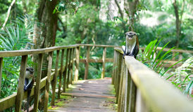 A monkey sitting on a railing. A monkey in a reserve in Lekki, Nigeria Royalty Free Stock Photography