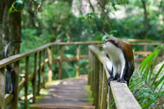 A monkey sitting on a railing. A monkey in a reserve in Lekki, Nigeria Royalty Free Stock Image