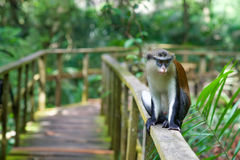 A monkey sitting on a railing. A monkey in a reserve in Lekki, Nigeria Stock Photo