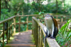 A monkey sitting on a railing. A monkey in a reserve in Lekki, Nigeria Stock Photos