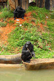 Monkey sitting on the river. Stock Photography