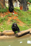 Monkey sitting on the river. Royalty Free Stock Image