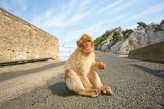 Monkey sitting on the road Royalty Free Stock Photo