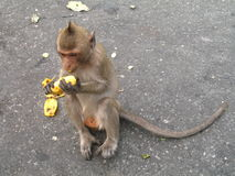 Monkey sitting on the road and eating banana somewhere in Thailand. Monkey sitting on the concrete wall and eating banana somewhere in Thailand. This is macaque royalty free stock photography