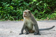 Monkey sitting on a road. Nature. Stock Photo