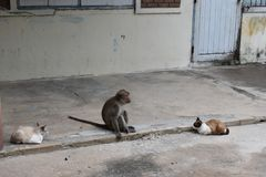 Monkey sitting on the road between two wild cats in Hua Hin, Thailand Stock Images