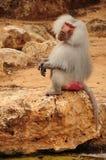 Monkey sitting on rock. White furry monkey sitting on rock Royalty Free Stock Photo