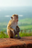 Monkey sitting on the rock Royalty Free Stock Images