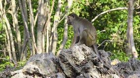 Monkey sitting on a rock stock footage