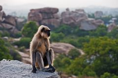 Monkey sitting on a rock in Hampi. Stock Image
