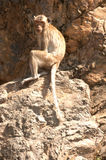 Monkey sitting on rock ( Macaca Fascicularis ). Royalty Free Stock Photo