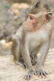 The monkey sitting on the rock Stock Images