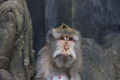 Monkey sitting on rock Royalty Free Stock Photos