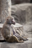Monkey sitting on a rock Royalty Free Stock Photography