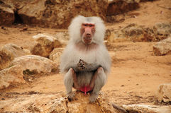 Monkey sitting on rock and staring. White furry monkey sitting on rock and staring Stock Photo