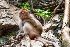 Monkey sitting on a rock Royalty Free Stock Photo