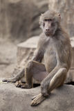 Monkey sitting on a rock Royalty Free Stock Image