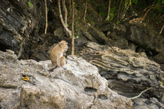 Monkey Sitting. On the rocks in the monkey island Stock Photo
