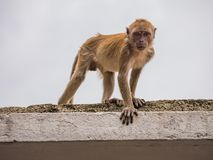 Monkey Sitting on a Roof in Batu Caves. Malaysia and looking at the camera Stock Images