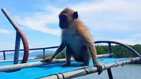 Monkey sitting on roof of longtail boat in Thailand mangrove forest. A ape waiting for fruits and food on a boat roof in the mangrove on the way to visit islands Stock Image